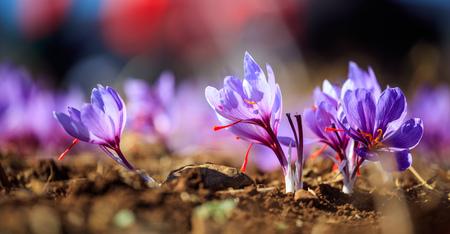 収穫時にフィールドでクロッカスの花のクローズアップ 写真素材