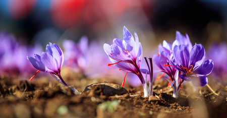 Close up of crocus flowers in a field at harvest time Imagens