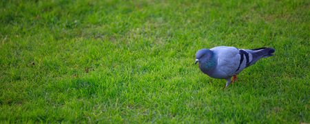 Domestic pigeon, walking in green field. Close up view with details. Blurred background, space for text, banner Reklamní fotografie