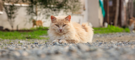 Cat, light brown color, is sitting on ground looking exactly at the camera. Blur nature backdrop. Stock Photo