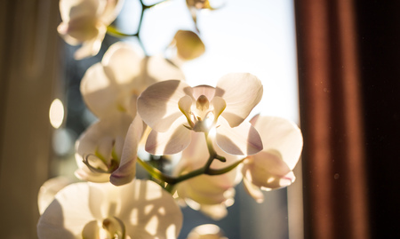 White orchid flower in front of window. Transparent petals because of the sunlight, shadows of the branches on them. Close up view with details, blurred background. Stock Photo