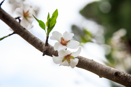 White blooming flowers on almond tree branch. Fruit tree on springtime. Blurred background, close up view with details. Stock Photo
