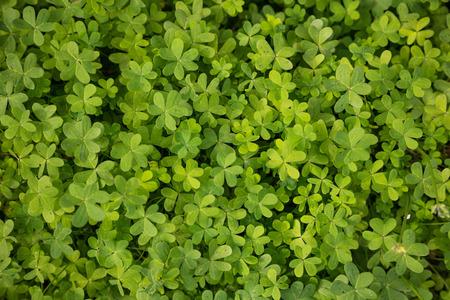 Clovers, trefoil, shamrocks fresh flora outdoors. Green nature background, top close up view.