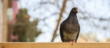 Colorful dove, pigeon standing on wooden surface looking at the camera. Space for text, banner, blurred background, close up view.