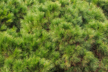 Pine, spruce green parts of tree. Fresh plant, conifer with needles. Nature background, close up view. Stock Photo