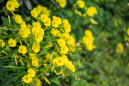 Small yellow wild flowers in meadow and blurred nature background. Close up view. Stock Photo