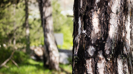 Tree trunk with crust detail. Blurred nature background. Photo of a sunny day at the forest. Space for text, close up view. Stock Photo