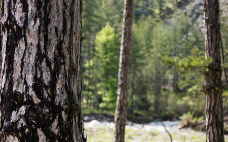 Tree trunk with crust detail. Blurred forest, nature and river background. Space for text, close up view.