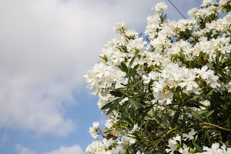 White oleanders blooming. Plant with poisonous green leaves. Closeup, cloudy sky background, space for text.