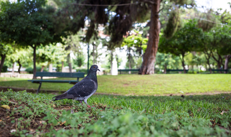 Nature concept. Pigeon on green meadow in a park, green bench, bokeh background, wallpaper. Stock Photo
