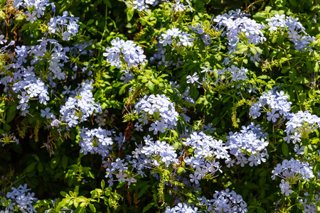 Blue jasmine blooming plant with bright green leaves full background Stock Photo