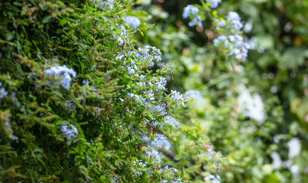 Blue jasmin with bright green leaves. Blooming plant in meadow. Blurred nature background.