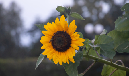 Yellow sunflower, helianthus in the middle of a meadow with a bee on it. Close up view, blur nature background.