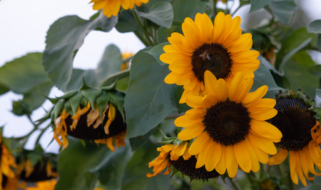 Yellow sunflowers, helianthus in the middle of a meadow with a bee on it. Close up view, blur background. Stock Photo