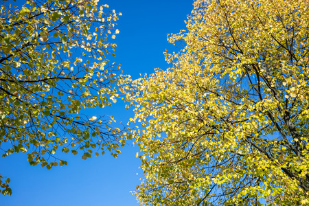 Green treetops against blue sky background. Branches with fresh foliages of plants. Under view photo of nature.