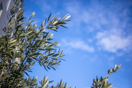 Part of olive tree with green leaves beneath blue sky with few clouds Stock Photo