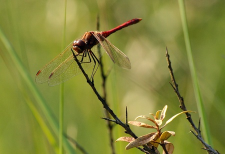 dragonfly on a branch photo