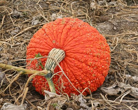 cinderella pumpkin: A large cinderella pumpkin in a fall harvest pumpkin patch