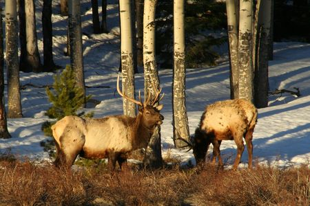 Two large elk foraging early morning in the Rocky Mountain National Park, Colorado photo