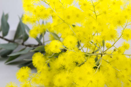 wattle: Bright yellow Mimosaceae Acacia pycnantha - Sydney Golden Wattle Stock Photo