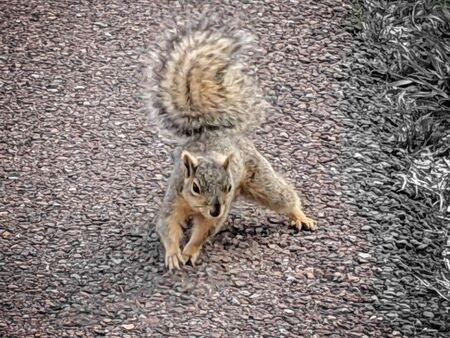 scarred territorial brown squirrel