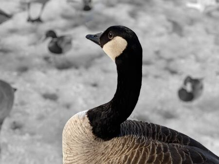 majestic canadian goose with blurred background.