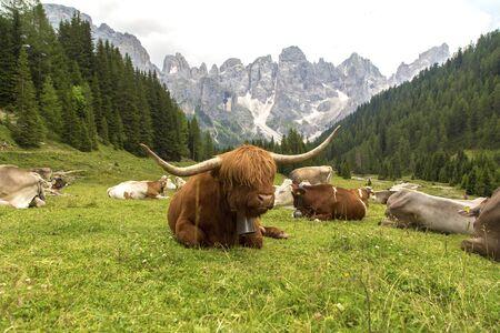 Hairy Scottish yak against the backdrop of the mountains. Alps, Dolomites, Trentino Alto Adige, Val Venegia.