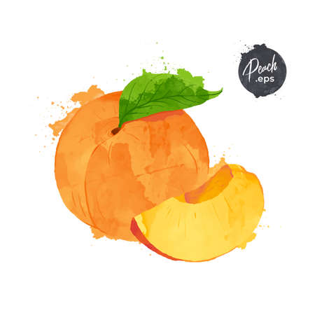 Peach isolated on white background. watercolour style Vector illustration.
