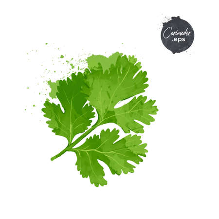 coriander leaves isolated on white background. watercolour style Vector illustration.