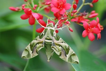 breen: Moth Breen su un fiore
