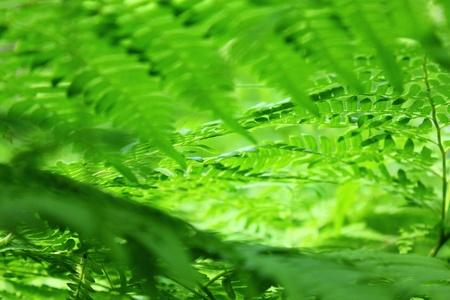 fern  large fern: fern leaves on a sunny day, large