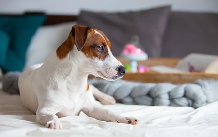 photo of dog, stand with marshmallows, branch of lavender and book on the board on the bed Stock Photo
