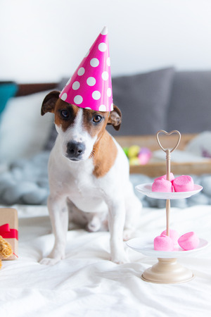 photo of cute jack russel terrier in Birthday hat near stand with marshmallows sitting on the bed in bedroom Stock Photo