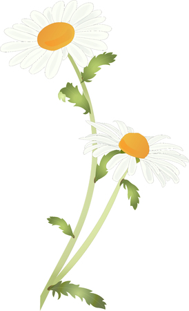 Ox-eye daisy, also known as dog daisy, moon daisy or simply daisy, leucanthemum vulgare, high detail isolated plant with two flowers vector illustration.