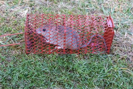 Mouse or rat trapped in a red cage, lying on green ground