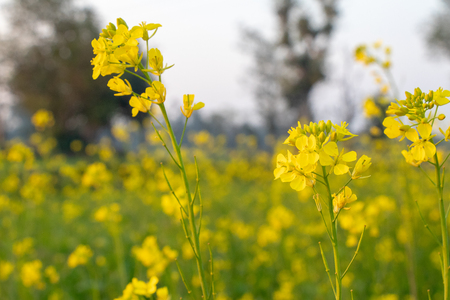 Mustard plant flower, become mustard seed , use for species and oil Standard-Bild - 114264900