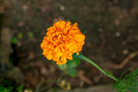 Yellow marigold flower on soily dark brown background