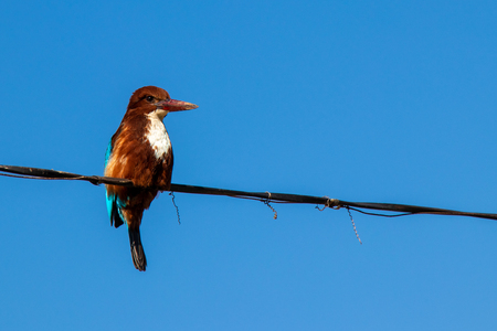 White-throated Kingfisher bird isolated over blue sky, setting on cable