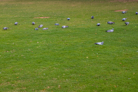Group of pigeons eating walking on green clean ground lawn Stock Photo