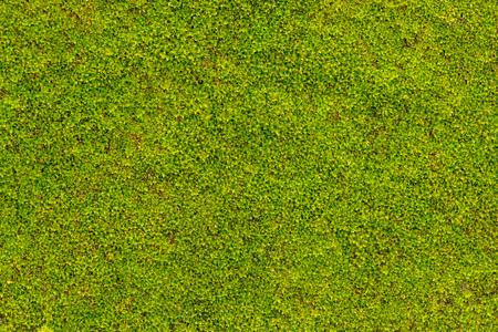 Grünes Moos auf Betonmauer in der Regenzeit Standard-Bild