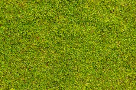 Green moss on concrete wall in rainy season Stockfoto - 117180330