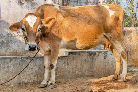 Jersey cow standing in stall tied with roop