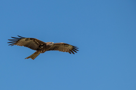 Eagle flying across the blue sky looking for prey