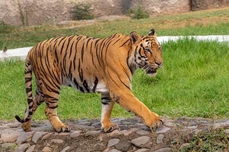 Bengaalse tijger lopen op betonnen pad. Zien er fantastisch uit.
