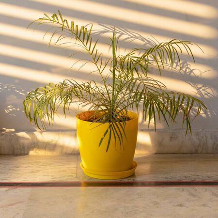 Dracaena marginata plant potted in yellow pot lying on the marble floor in the house.. Фото со стока