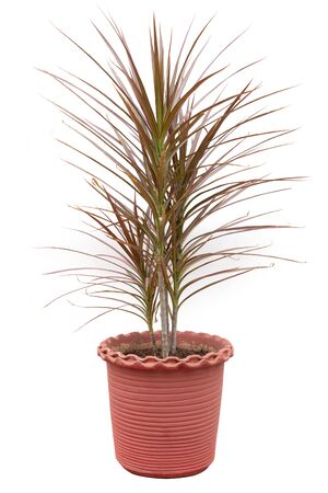 Dracaena Marginata Tri Color Plant potted in flower pot isolated on white background.