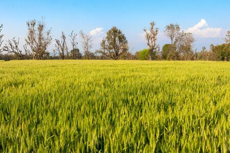 Green wheat field, beautiful green cereal field background