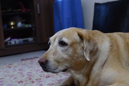 Pet Dog inside the home, observing a fluttering hand fan.