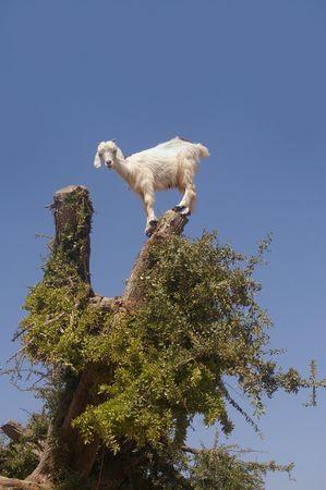 cabras: Goat aliment�ndose en �rbol de arg�n. Marruecos