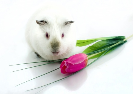 Guinea pig near tulip  photo